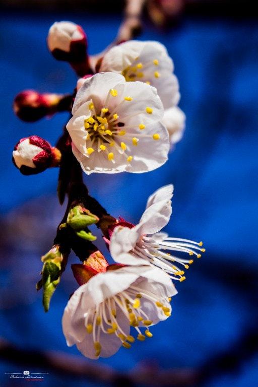 """الربيع """"ازهار المشمش"""""""